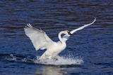Trumpeter Swan (Cygnus Buccinator) Splashing Down from Flight, While Wintering on Mississippi River Impressão fotográfica por Lynn M. Stone