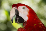 Green-Winged Macaw (Captive), South America, Excl Stampa fotografica di Lynn M. Stone