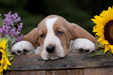 Basset Hound Pup with Sunflowers in Antique Wooden Box, Marengo, Illinois, USA Photographic Print by Lynn M. Stone