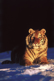 Tiger on Snow Just before Sunset (Captive Animal) Photographic Print by Lynn M. Stone