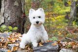 West Highland Terrier Puppy, Goshen, Connecticut, USA Photographic Print by Lynn M. Stone