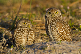 Burrowing Owls (Athene Cunicularia) at Burrow in Sandy Soil Photographic Print by Lynn M. Stone