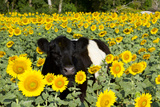 Belted Galloway Cow in Sunflowers, Pecatonica, Illinois, USA Lámina fotográfica por Lynn M. Stone