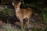 Abyssinian Cat Outdoors in Sunshine, Colchester, Connecticut Photographic Print by Lynn M. Stone