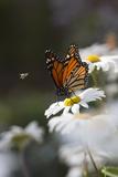 Monarch Butterfly (Danaus Plexippus) on Montauk Daisies in October, Madison Photographic Print by Lynn M. Stone