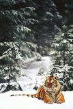 Tiger Lying in Snow During Snow Storm in Spruce Forest (Captive Animal) Photographic Print by Lynn M. Stone