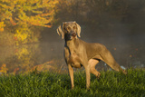 Weimaraner at Edge of Pond with Autumn Leaf Reflections in Early Morning Fog, Colchester Photographic Print by Lynn M. Stone
