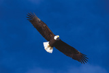 Bald Eagle (Haliaeetus Leucocephalus) in Flight Against Blue Sky Stampa fotografica di Lynn M. Stone