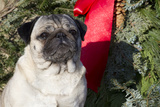 Pug Portrait by Christmas Wreath-Ribbon, Rockford, Illinois, USA Photographic Print by Lynn M. Stone