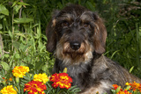 Wire-Haired Standard Dachshund in Marigolds, Putnam, Connecticut, USA Photographic Print by Lynn M. Stone