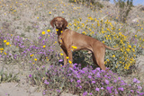 Older Vizsla Standing Amid Purple Desert Verbena and Yellow Composites Photographic Print by Lynn M. Stone