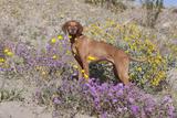 Older Vizsla Standing Amid Purple Desert Verbena and Yellow Composites Photographic Print by Lynn M. Stone