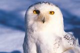 Portrait of Snowy Owl (Bubo Scandiacus) Standing in Snow, Anchorage, Alaska, USA Photographic Print by Lynn M. Stone