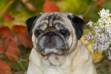 Pug in Autumn Foliage, Rockford, Illinois, USA Photographic Print by Lynn M. Stone