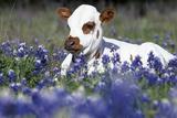 Texas Longhorn Calf in Bluebonnets (Lupine Sp.), Texas Hill Country, Burnet, Texas Stampa fotografica di Lynn M. Stone