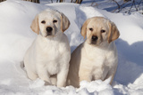 Yellow Labrador Retriever Puppies Sitting in Snow, St. Charles, Illinois, USA Photographic Print by Lynn M. Stone