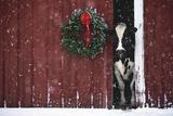 Holstein Cow Standing in Doorway of Red Barn, Christmas Wreath on Barn, Marengo Papier Photo par Lynn M. Stone