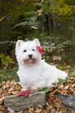 West Highland Terrier, Goshen, Connecticut, USA Photographic Print by Lynn M. Stone