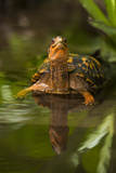 Colorful Male Eastern Box Turtle (Terrapene Carolina Carolina) Fotografisk tryk af Lynn M. Stone