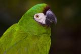 Severe Macaw (Ara Severa) Stampa fotografica di Lynn M. Stone