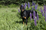 Portrait of Black Doberman Pinscher Male in Lupine, St. Charles, Illinois, USA Photographic Print by Lynn M. Stone