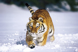 Tiger Running in Snow (Captive Animal) Photographic Print by Lynn M. Stone