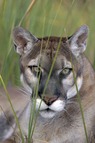 Florida Panther (Felis Concolor) in Sawgrass, South Florida, USA Photographic Print by Lynn M. Stone