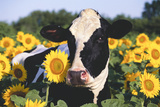 Portrait of Holstein Cow Standing in Sunflowers, Pecatonica, Illinois, USA Photographic Print by Lynn M. Stone