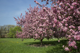 Flowering Fruit Trees in May, Morton Arboretum, Lisle, Illinois, USA Photographic Print by Lynn M. Stone