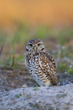 Burrowing Owl (Athene Cunicularia) at Burrow in Sandy Soil Photographie par Lynn M. Stone
