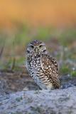 Lynn M. Stone - Burrowing Owl (Athene Cunicularia) at Burrow in Sandy Soil Fotografická reprodukce
