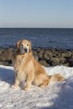 Male Golden Retriever Sitting on Snow at Rock Long Island Sound Beach, Madison Stampa fotografica di Lynn M. Stone
