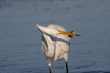 Great Egret (Ardea Alba) Photographic Print by Lynn M. Stone