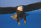 Bald Eagle (Haliaeetus Leucocephalus) in Flight Against Blue Sky Photographic Print by Lynn M. Stone