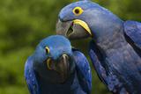 Hyacinth Macaw (Amnolorhynchus Hyacinthinus) Stampa fotografica di Lynn M. Stone