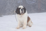 Saint Bernard Sitting in Snow in Fog, Mountains of Southern California, USA Photographic Print by Lynn M. Stone