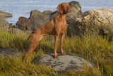 Vizsla Standing in Marine Grass at Beach, Madison, Connecticut, USA Photographic Print by Lynn M. Stone