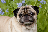 Portrait of Pug in Virginia Bluebells, Rockton, Illinois, USA Photographic Print by Lynn M. Stone