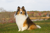 Shetland Sheepdog(S) in Autumn, Waterford, Connecticut, USA Photographic Print by Lynn M. Stone