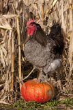 Rooster Standing on Pumpkin at Edge of Corn Field, Breed, Iowa, USA Photographic Print by Lynn M. Stone