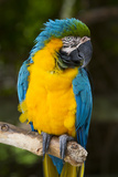 Blue and Gold Macaw (Ara Ararauna) Captive, R- Panama and South Venezuela Stampa fotografica di Lynn M. Stone