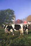 Holstein Cows in Green Pasture on Clear October Morning with Dairy Buildings in Distance, Granville Photographic Print by Lynn M. Stone