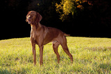 Vizsla in Late Afternoon, Back-Lit, on Grassy Plain, Guilford, Connecticut, USA Photographic Print by Lynn M. Stone