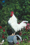 Rooster Crowing Photographic Print by Lynn M. Stone