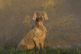 Weimaraner Sitting in Grass by Pond and Autumn Reflections on Foggy Morning, Killingworth Fotoprint van Lynn M. Stone