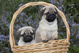 Pug Pups in Wicker Basket, Santa Ynez, California, USA Photographic Print by Lynn M. Stone