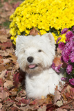 West Highland Terrier in Autumn, Veron, Connecticut, USA Photographic Print by Lynn M. Stone