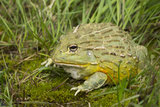 African Bullfrog (Pyxicephalus Adspersus) Photographic Print by Lynn M. Stone