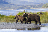 Mother Grizzly and Her Two-Year Old Hustle onto a Gravel Bar in an Olga Bay Stream, Kodiak I. Photographic Print by Lynn M. Stone