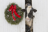 Holstein Cow in Snowstorm by Green Wreath and Red Ribbon, St. Charles, Illinois, USA Impressão fotográfica por Lynn M. Stone